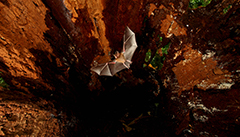 bat-conservation-can-help-reduce-the-risk-of-disease
